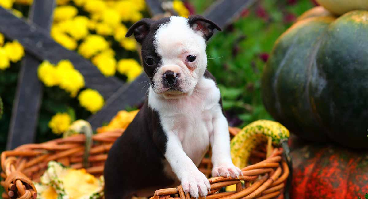 Should I get a Boston Terrier